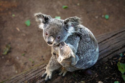 Baby animal「Koala and Baby」:スマホ壁紙(14)