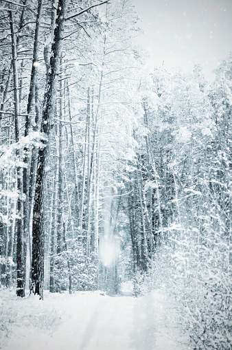 雪が降る「冬の松林で吹雪と嵐」:スマホ壁紙(9)