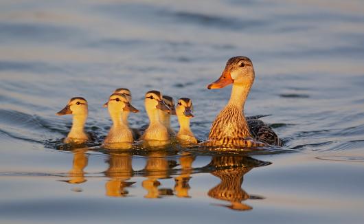 Flock Of Birds「Mottled Duck with Chicks at Edward Medard Park」:スマホ壁紙(17)
