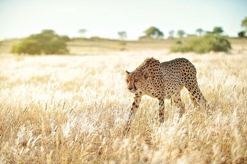 Kalahari Desert「Careful Cheetah approaching in golden grass」:スマホ壁紙(5)