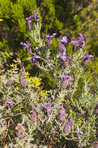 French Lavender「French lavender wildflowers」:スマホ壁紙(13)
