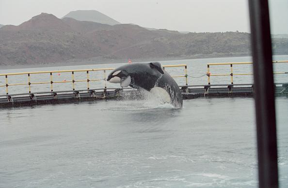 Killer Whale「Keiko The Orca」:写真・画像(2)[壁紙.com]