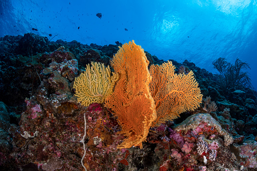 Soft Coral「Pacific Coral Reef」:スマホ壁紙(4)