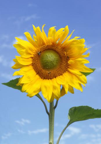 ひまわり「Sunflower against a blue sky.」:スマホ壁紙(15)