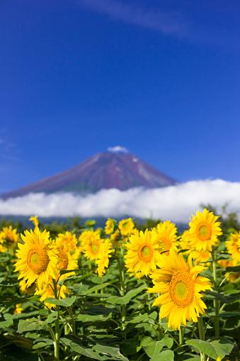 ひまわり「Sunflower and Mt. Fuji」:スマホ壁紙(0)