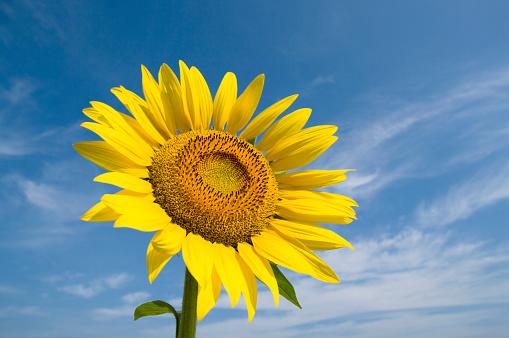 ひまわり「Sunflower and a blue sky」:スマホ壁紙(8)