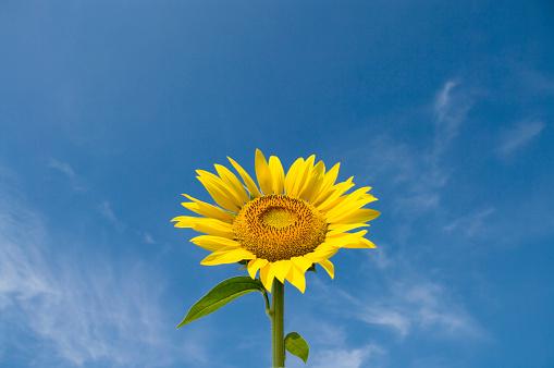 ひまわり「Sunflower and a blue sky」:スマホ壁紙(5)