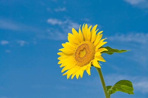 ひまわり「Sunflower and a blue sky」:スマホ壁紙(3)