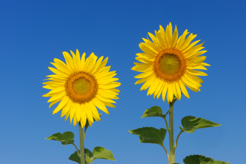 ひまわり「Sunflower (Helianthus annuus) against blue sky.」:スマホ壁紙(5)