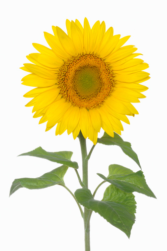 ひまわり「Sunflower against white background」:スマホ壁紙(0)