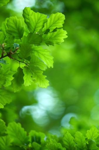 春「新しいオークの葉」:スマホ壁紙(13)