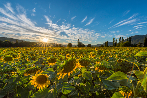 ひまわり「Italy, Umbria, sunflower field in the evening twilight」:スマホ壁紙(12)