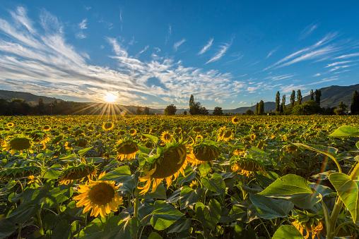 ひまわり「Italy, Umbria, sunflower field in the evening twilight」:スマホ壁紙(19)