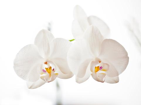 花「オーキッド」:スマホ壁紙(18)