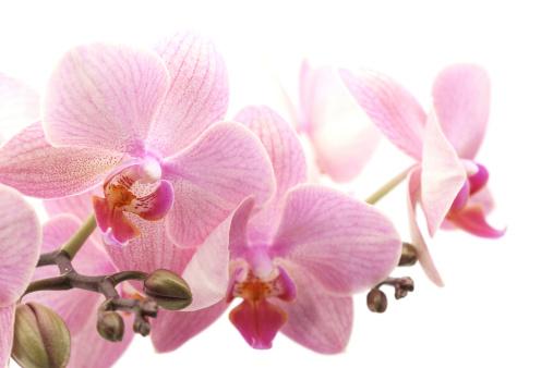 Tropical Flower「orchid」:スマホ壁紙(14)