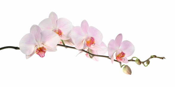 Orchid「Orchid (isolated on white)」:スマホ壁紙(19)