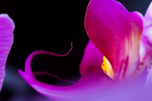 Floral Pattern「Orchid (Phalaenopsis )」:スマホ壁紙(10)