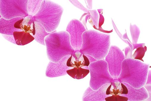 Pistil「orchid」:スマホ壁紙(14)