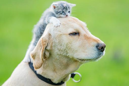 Kitten「Kitten Sitting on Golden Retrievers Head stock photo」:スマホ壁紙(7)