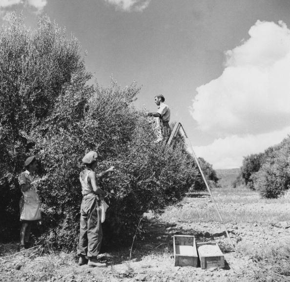 Grove「Olive Harvest」:写真・画像(17)[壁紙.com]
