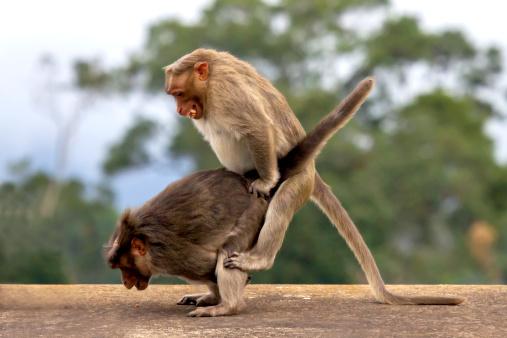 Animals In The Wild「Monkeys mating」:スマホ壁紙(12)