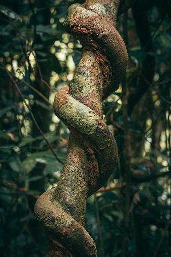 Plant Bark「Liana in tropical rainforest」:スマホ壁紙(4)
