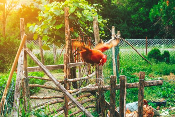 red rooster flies:スマホ壁紙(壁紙.com)