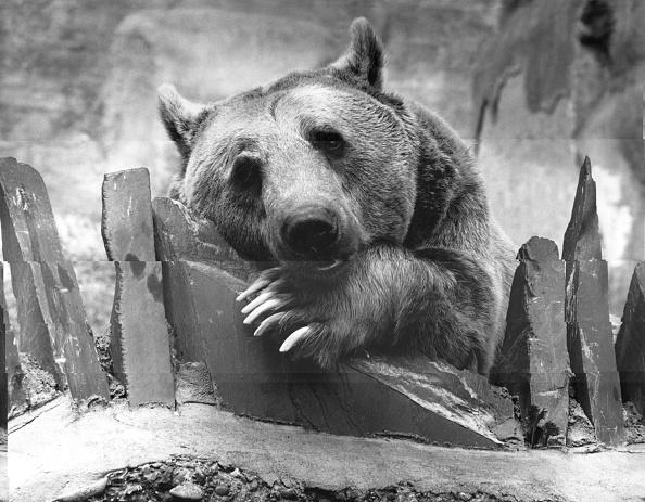 Brown Bear「Brown Bear」:写真・画像(7)[壁紙.com]