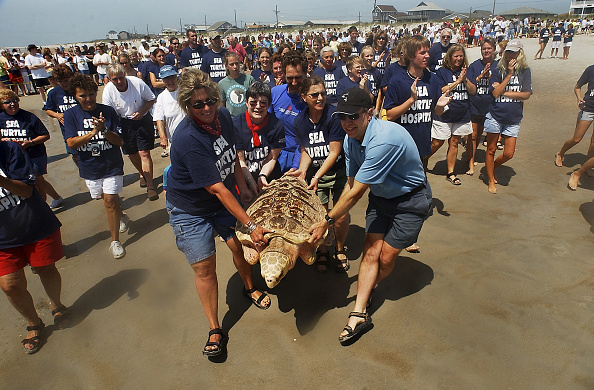 Animal「Rehabilitated Sea Turtles Returned To The Wild」:写真・画像(10)[壁紙.com]