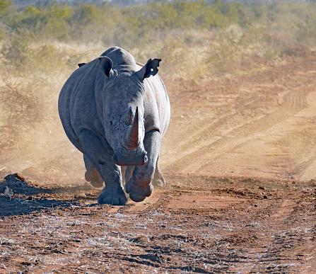 Poaching - Animal Welfare「White rhinoceros running in Madikwe Game Reserve, South Africa」:スマホ壁紙(7)