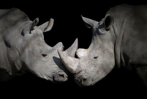 Horned「white rhinoceros encounter」:スマホ壁紙(15)