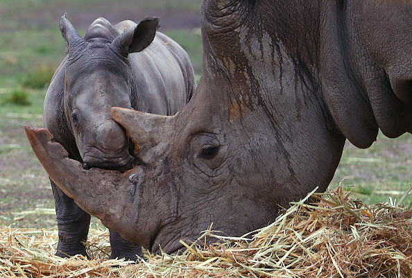 Endangered Species「Taronga Western Plains Zoo Welcomes Baby White Rhino」:写真・画像(12)[壁紙.com]