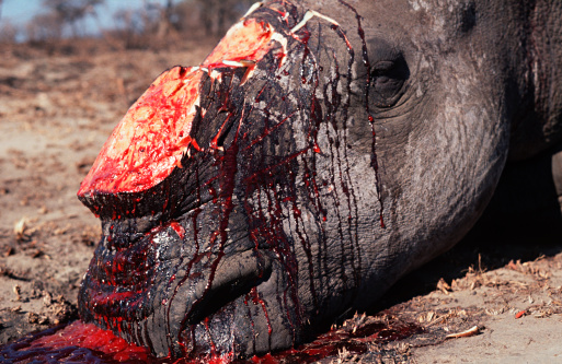 バイパス「White rhino (Ceratotherium simum) killed by poachers for horn」:スマホ壁紙(1)