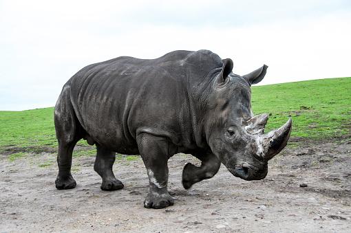 Endangered Species「White Rhinoceros on the move」:スマホ壁紙(16)