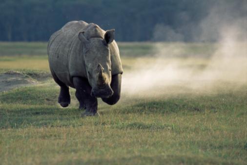 Rhinoceros「White rhinoceros (Ceratotherium simum) charging」:スマホ壁紙(7)