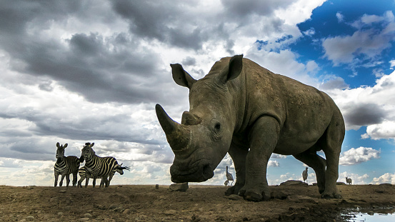 Rhinoceros「White rhino at a waterhole in laikipia」:スマホ壁紙(12)