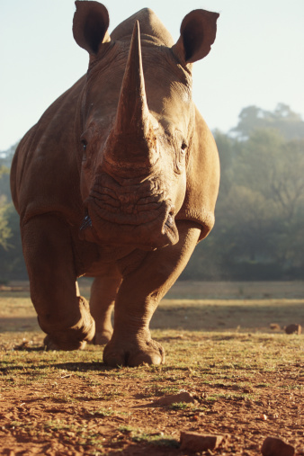 野生動物「White rhinocerous (Ceratotherium simum) in field」:スマホ壁紙(1)