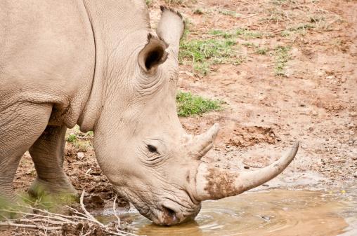 Reserve Athlete「White Rhino Drinking Water」:スマホ壁紙(8)