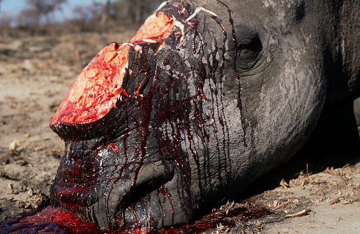 自生「White Rhino Poached for Horn」:スマホ壁紙(19)