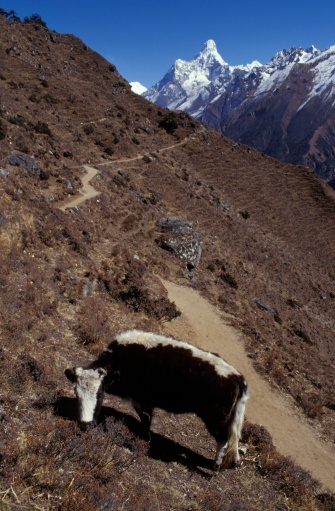 Khumbu「Cow grazing in mountainous landscape」:スマホ壁紙(4)