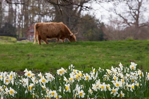 水仙「A cow grazing in a field with daffodils in bloom; hirsel scottish borders scotland」:スマホ壁紙(7)