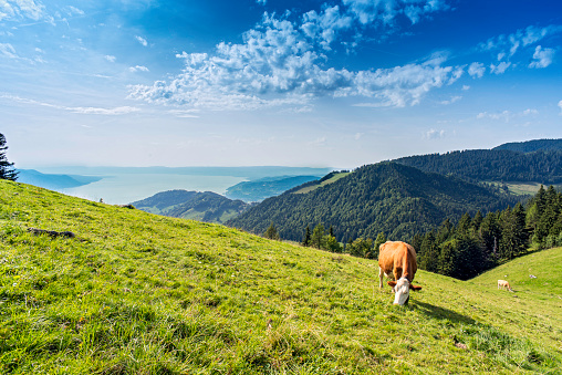 Females「Cow grazing on an alpine meadow above Lake Geneva and the city of Montreux, Switzerland」:スマホ壁紙(5)