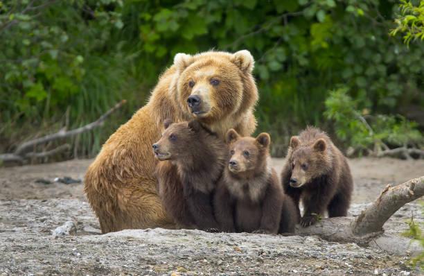 Alaskan brown bear sow and cubs:スマホ壁紙(壁紙.com)