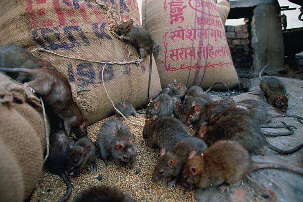 Black Rats (Rattus rattus):スマホ壁紙(壁紙.com)