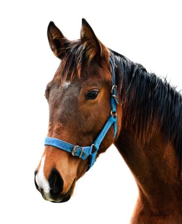 Horse「thoroughbred race horse portrait」:スマホ壁紙(8)