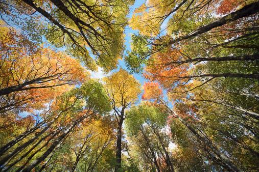 かえでの葉「メープルの天蓋、秋の森」:スマホ壁紙(11)
