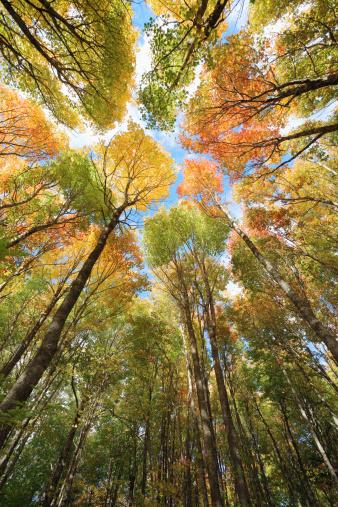 かえでの葉「メープルの天蓋、秋の森」:スマホ壁紙(10)