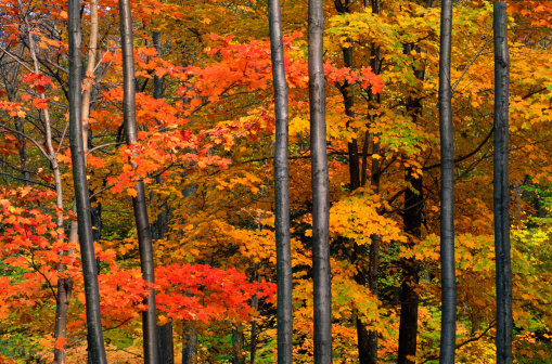 サトウカエデ「Maple forest (Acer sarcharum), Vermont, USA」:スマホ壁紙(16)