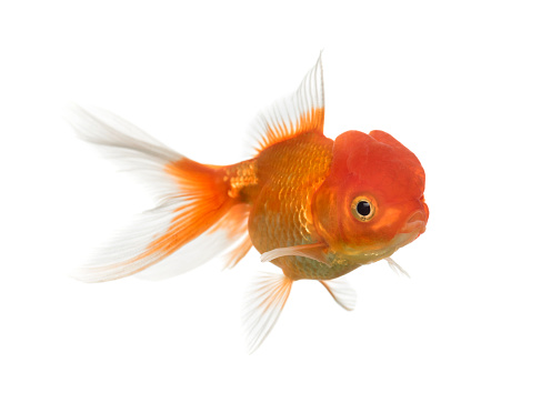 Goldfish「Lion's head goldfish swimming isolated on white」:スマホ壁紙(5)