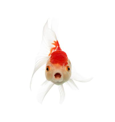 Goldfish「Lion's head goldfish opening mouth isolated on white」:スマホ壁紙(4)
